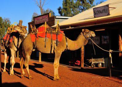 CA Camels at Uluru